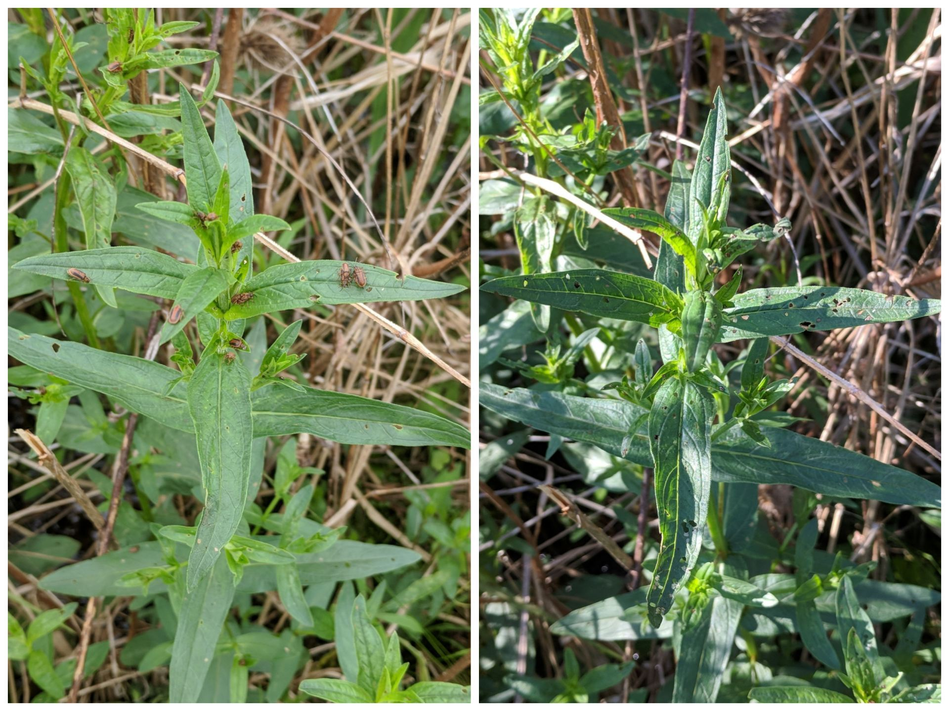 Damage to a purple loosestrife plant by beetles at the release (left) and one day later (right).